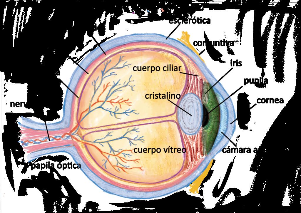 Anatomía del ojo humano